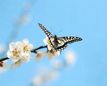 White Butterfly Cherry Blossom